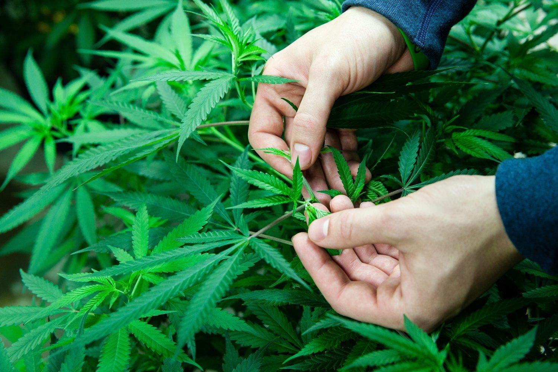 La marihuana es el principal tratamiento para el dolor crónico gracias a los efectos derivados del THC y del CBD.