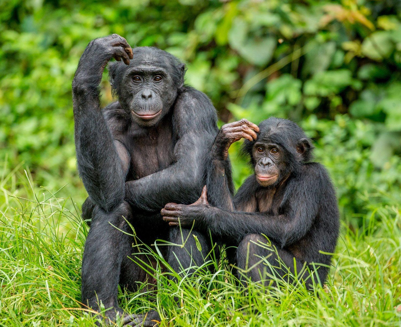 Los bonobos están organizados en sociedades donde los machos y las hembras practican sexo con múltiples miembros de su misma especie.