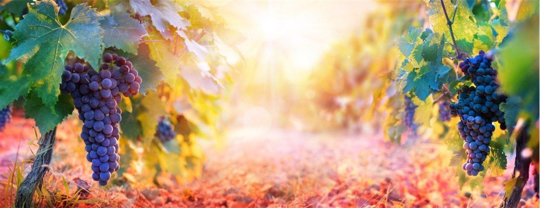 Las viñas ecológicas no son extensivas, pero tampoco tendría sentido que lo fueran